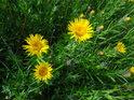 Žluté květiny na Bílé hoře.