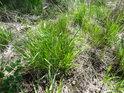 Na mokrém podloží se s přibývajícím jarem zelená trs trávy.