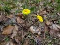 Podběl patří k časnému jaru, které výše v Jeseníkách pokračuje do května.