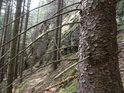 Uschlé pahýly smrkových větví na živém stromě.