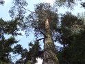 Pohled do korun borovic na hraně srázu nad Křemžským potokem.