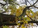 Žluté listí javoru.