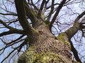 Koruny prastarých dubů jsou majestátné.