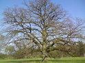 Kdo z lidí vlastně může vidět do duše takového mohutného a rozložitého dubu se spoustou vodorovných větví?