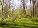 Vodorovné větve dubů vytváření svému nositeli ohromný pákový tlak a když přijde velký nápor, dochází k bolestivému ulomení.