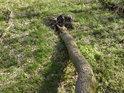 Vypadá to, jako by ani kořeny nebyly příliš rozsáhlé, inu v lese je stromů veliká konkurence.