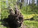 Starší lesní vývrat.