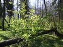 Některé stromy podlehnou vyvrácení a jiné zase zlomení.