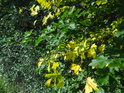 Listí má zrovna barvu zelenou a žlutou