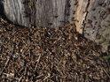 Mraveniště na okraji uschlého stromu