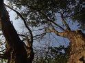 Uschlé stromy při západním okraji Bosonožského hájku