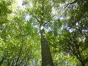 Pohled do koruny většinového stromu zde, totiž buku.