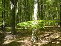 Bukové větve někdy tvoří jakási malá patra.