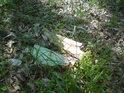 Loňské bukové listí, rozkládající se větve a mladé stromky, které vzklíčily z bukvic.