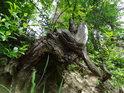 Nádherný pahýl pařezu se drží na kolmé skalní stěně v bývalém lomu na Bralové.