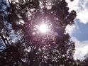 Slunce prosvítá přes korunu vlnité borovice na Bralové.