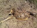 V létě to vypadá skoro až anticky hrůzně, když potkáme mrtvolu srnky.
