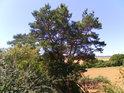 Barevné odstíny borovice jsou kouzelné nejen v letním žáru.
