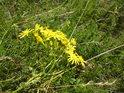 Určit druh rostliny nebývá pro každého snadné a někdy zůstane domněnka, zde by mohlo jít o kozí bradu.