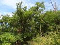 Soušky mezi živými stromy.