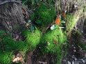 Dubové listy letošní i loňské na zeleném mechu.