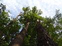 Dvojici živých dubů doprovází jiný,ale už uschlý duben.