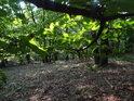 Kontrast barev v lese pod sytými bukovými listy.