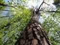 Štíhlá vysoká borovice.