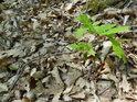 Mladý dub se má k světu, možná kolem některý vzrostlý strom padne a junior bude mít životadárné světlo, k životu tak nezbytné.