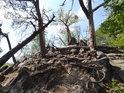 Kořeny borovic drží pohromadě uvolněné kameny na vrcholu Břestecké skály, ač je také stále více uvolňují.