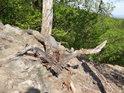 Starý vývrat na vrcholu Břestecké skály.