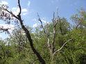 Na jaře bývá dobře poznat v korunách stromů, který je živý a který již ne.
