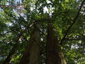 Buková dvojčata coby souška v lese povícero dubovém.