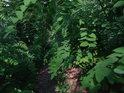 Do lesa se dostane mimo jiné též akát.