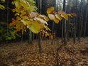 Barevné bukové listí činí temný les úplně jiným.