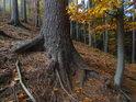 Podzimní bukový les.