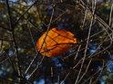 Zachycený bukový list na smrkovém chvojí.