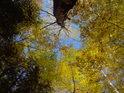 Žlutavé podzimní listí bříz s hlavou zalomenou.