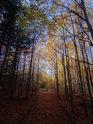 Podzimní ulička, vlevo smrky, vpravo břízy.