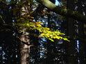 Podzimní buková větvička osvětlená slunečními paprsky v temném smrkovém lese.