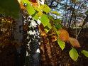 Mnohabarevné bukové listy u kmenů bříz.