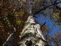 Bříza na kraji lesa s jednostrannými větvemi.