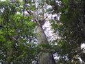 Topol přijímá světlo zejména v nejvyšším patře lužního lesa.