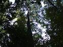 Dubům se v mokru daří, ale musí se rychle šplhat do výšky a zesílit jim není dáno.