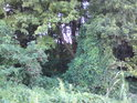 Černý bez a chmel dělají bránu do lesa.