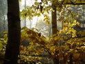 Nádherně podzimní žluté bukové listy v Broumovských stěnách.