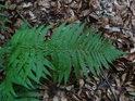 Kapradina v lesním přítmí na bukovém listí.