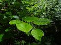 Sytě zelené mladé bukové listy.