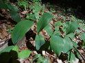 Listy konvalinek v lesním svahu.