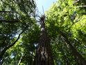 Ojedinělá borovice mezi smrky nikterak neprospívá.